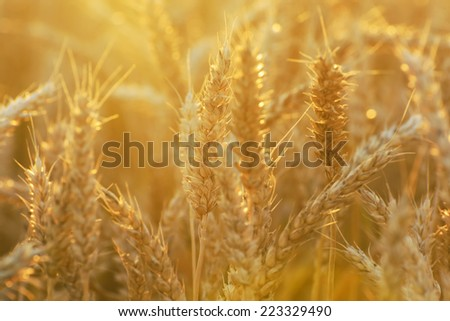 Ripe wheat in the field illuminated by evening sun - stock photo