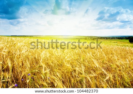 ripe wheat landscape against blue sky - stock photo