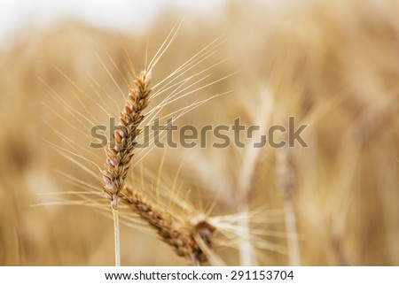 Ripe wheat landscape with details of ear of wheat - stock photo