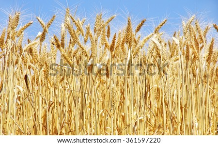 Ripe wheat on a blue sky - stock photo