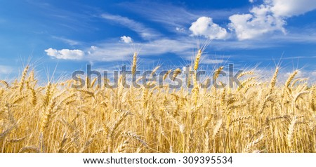 Ripe wheat on a sunny day - stock photo