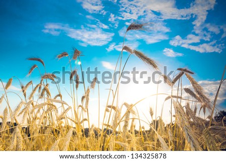 Ripe wheat spikes in the field against blue sky - stock photo