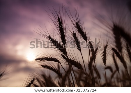 Ripe wheat stalks silhouetted in the sunset.  - stock photo