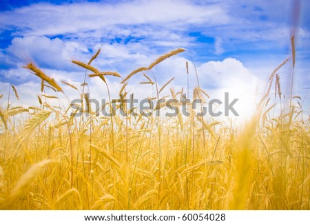 Ripe wheat under blue sky and fun sun. - stock photo