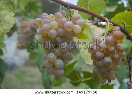 Ripe white grapes to be harvested on vertical composition  - stock photo