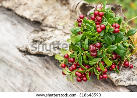 Ripe wild lingonberries associated in a bouquet on old wooden background in the forest. selective Focus - stock photo