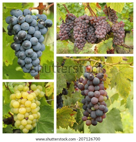 ripe wine bunch grapes in vineyard - collage  - stock photo