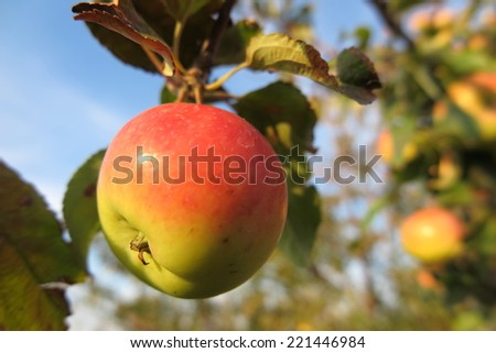 Ripe winter variety apple against a blue sky in the sunny autumn garden - stock photo