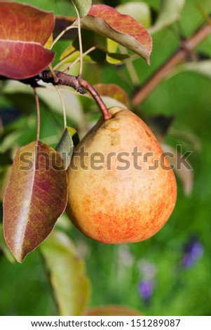 ripe yellow and red pear on tree in fruit orchard close up