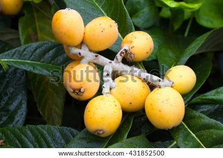 Ripe yellow fruits of loquat. Eriobotrya japonica macro - stock photo
