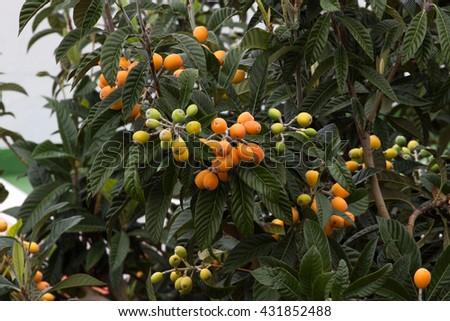 Ripe yellow fruits of loquat. Eriobotrya japonica tree - stock photo