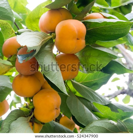 Ripe yellow persimmon fruit hanging on tree