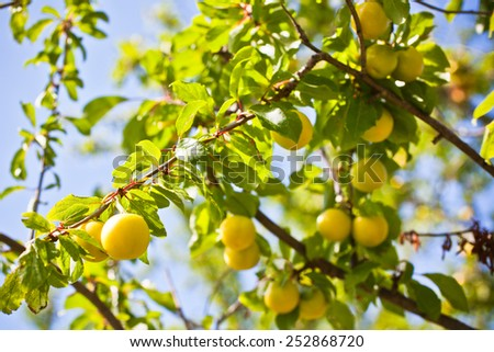 Ripe yellow plum tree branches in bright sunshine light - stock photo