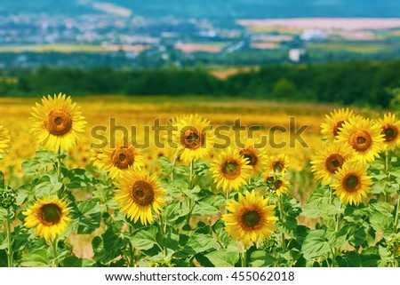 Ripe Yellow Sunflowers at front of Bulgarian Landscape  - stock photo