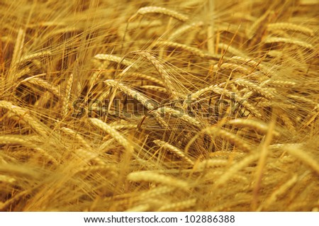 Ripe yellow wheat with stalks by grains - stock photo