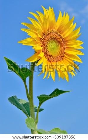 Ripe, young sunflower blooming against the blue sky - stock photo