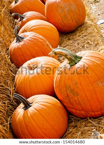 Riped pumpkins at the pumpking field.
