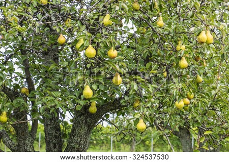 Ripen Bosc Pears on the Tree - stock photo
