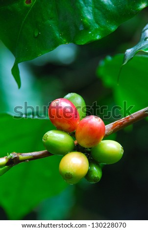 ripen coffee on stem - stock photo