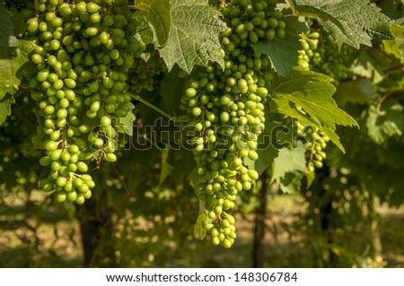 Ripened green grape - stock photo