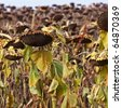 Ripened sunflowers ready for harvesting for their seeds - stock photo