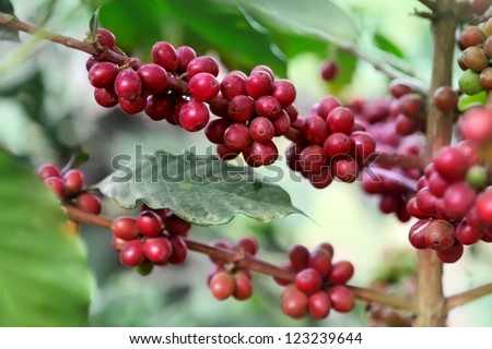 Ripening coffee beans on a tree - stock photo