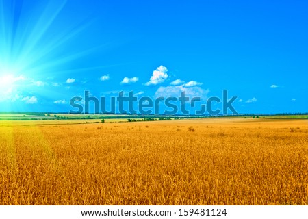 ripening ears of wheat field - stock photo