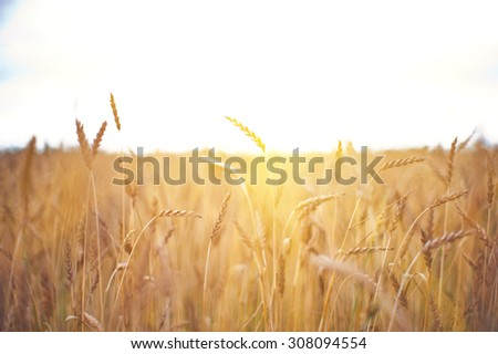 ripening ears of wheat field, shallow depth of field - stock photo