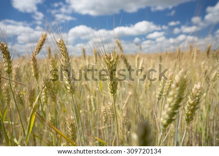 Ripening ears of wheat in a rural wheat field cultivated for human consumption or to feed livestock during winter, landscape view under a blue cloudy sky - stock photo