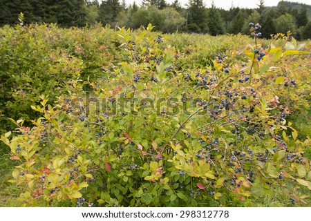 Ripening fruit on the bush at a blueberry farm. - stock photo