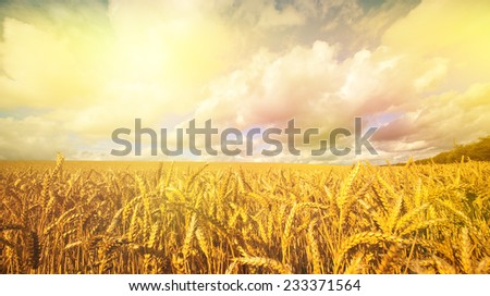Ripening golden wheat in the early morning sun