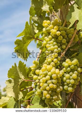 Ripening green grape  on the vine - stock photo