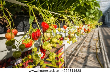 Ripening of strawberries from hydroponically cultivated plants at a convenient picking height in a specialized Dutch greenhouse horticulture business. - stock photo