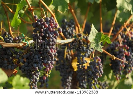 Ripening Okanagan Wine Grapes. Ripe bunches of red grapes hang on the vine in the afternoon sun ready to be harvested. Okanagan Valley near Osoyoos, British Columbia, Canada. - stock photo
