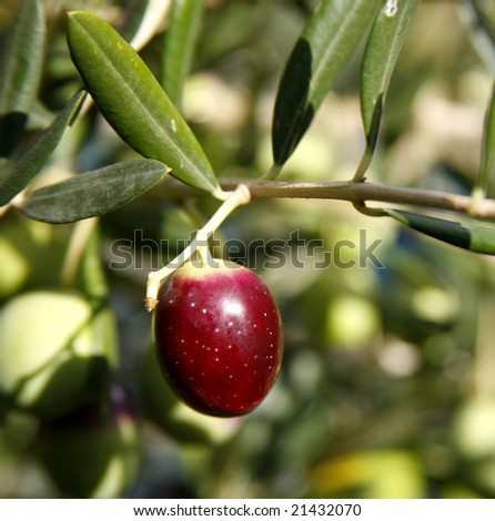 Ripening olive on tree ready for harvesting