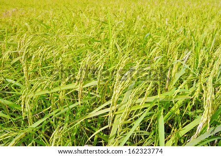Ripening rice in a paddy field. - stock photo