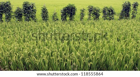 Ripening rice in a paddy field close up - stock photo