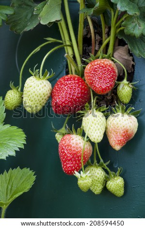 Ripening strawberries, still on the plant - stock photo