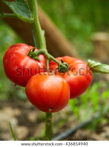 Ripening tomatoes on vines in a greenhouse - stock photo