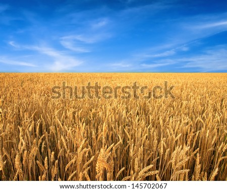 Ripening wheat field and blue sky as background