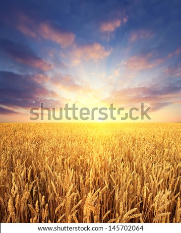 Ripening wheat field and sunrise sky as background - stock photo