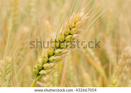 Riping wheat