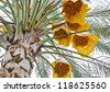 Ripped date Fruits cluster hanging on a palm tree - stock photo