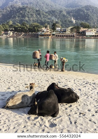 RISHIKESH, INDIA - NOVEMBER 16, 2016: Three cows ruminate on the banks of the Ganges River in the holy city of Rishikesh, India. Three vendors selling bread and other food are in the background.
