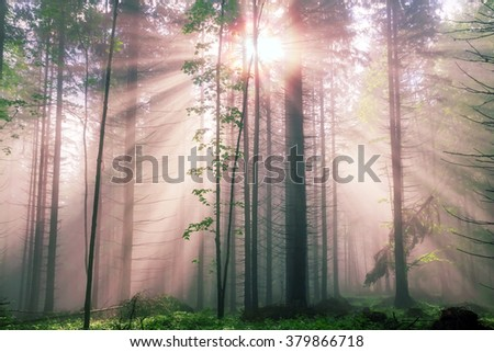 rising after rain warm old dense forest shrouded in mist with sunshine rays. High beech, hornbeam, fir rosy very beautiful and fabulous. Ukraine Carpathian peaks are known for their primeval - stock photo