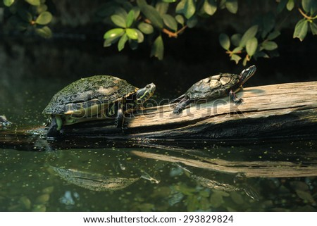 River cooter (Pseudemys concinna hieroglyphica) and Eastern painted turtle (Chrysemys picta picta). Wild life animal.  - stock photo