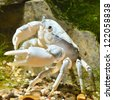 river crab Potamon sp. in natural environment - stock photo