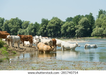 River Doubs in the western France with cattle Charolais cows - stock photo