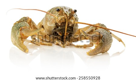 river lobster isolated on the white background