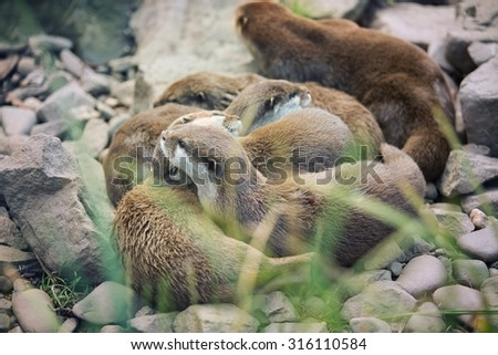 River otter cubs while resting - Lutra lutra - stock photo